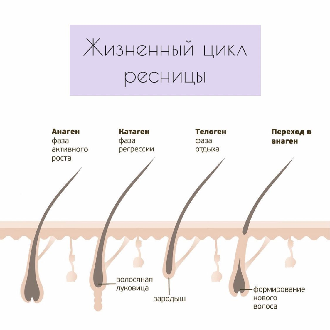 Наши ресницы обновляются на протяжении всей жизни. Какие фазы роста проходят волоски и сколько времени занимает их обновление? ️⠀Жизненный цикл волоса состоит из 4-х стадий, его продолжительность составляет, в среднем, 2 месяца. Все ресницы живут по своему «индивидуальному графику», поэтому разные ресницы в одно и то же время находятся на разных стадиях своего жизненного цикла.⠀ Первая стадия цикла — анагенная. Она длится около месяца и характеризуется формированием волосяных фолликулов. На этом этапе ресницы человека отрастают на примерно 0,12–0,14 мм за сутки.⠀ Вторая стадия — катогенная. Она является переходным этапом и занимает всего две недели. В этой фазе рост ресничных волосков приостанавливается.⠀ Третья стадия — телогенная. На этом этапе развития фолликул перестаёт дробиться и переходит в состояние покоя, после чего он отторгается, а волосок выпадает. Продолжительность этой фазы составляет около 100 дней. После неё наступает ранняя анагенная фаза, в которой происходит созревание новой луковицы.⠀Когда у клиента, со временем, начинают выпадать наращенные ресницы вместе с родными, это значит, что волоски уже прошли свой жизненный цикл.⠀Пост был полезным? Ставьте лайк и сохраняйте в закладки.